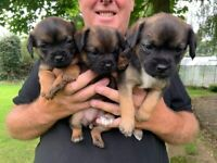 Border Terrier Puppies READY NOW!! - 2 left 🐶🐶