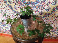 Small Ivy Plant in Metal Pot