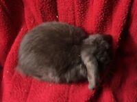 Young mini lop doe rabbit