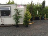 Castlewellan Gold Trees