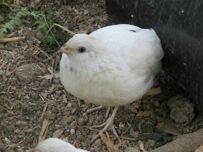 12 White Bobwhite Quail Hatching Eggs- Pre Sale