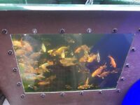 Koi to Clear from £6.00 each