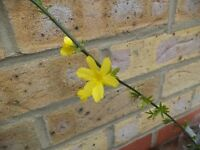 A winter jasmine plant in flower now with a forget-me-not plant.