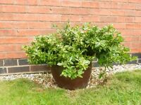 Large evergreen in frost-free glazed stone pot/planter