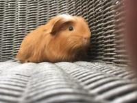 Baby male Guinea Pig available