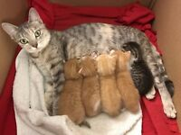 Cute Kittens for Sale - Domestic British Shorthair and Tabby