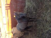Miniature horse and mule for sale