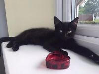 BLACK KITTEN, 4 MONTHS OLD, FULL VACCINATIONS, BED, BLANKETS, CARRYING BOX, WET AND DRY FOODS, TOYS