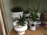 Aloes/cactus/succulent