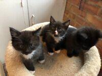 Bengal Cross kittens 2 female 1 male
