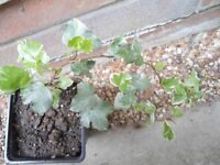 Plants for sale- Two variegated English ivy plants