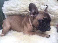 Adorable French Bulldog Girl