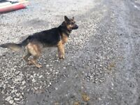 German Shepherd bitch for sale