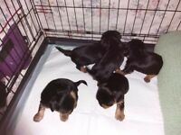 Five yorkshire terrier dogs for sale full pedagree