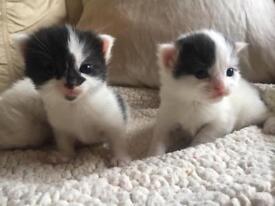2 Beautiful kittens left mum half rag doll