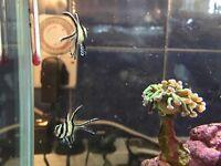 Bangaii cardinal fish pair
