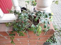 Periwinkle/vinca plants in a 10.5 cm pot