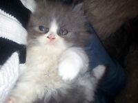 beautiful persian kittens only on boy now