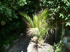 Phoenix Canariensis Palm Tree for sale