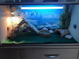 Bearded dragon with full viv set up