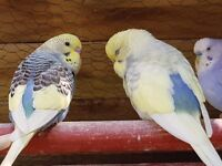 happy healthy budgies ... adults and babies available now