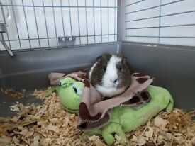 Central London Guinea Pig Day Care / Overnight Boarding