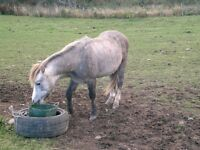 Welsh Sec A colt for sale , Yearling . 10hh . Registered Passported . well bred