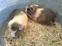 Two male guinea pigs for sale.
