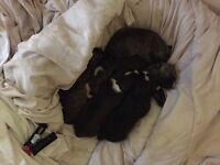 Beautiful staffy puppys