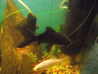 2 lovely black fish for sale they are cold warter