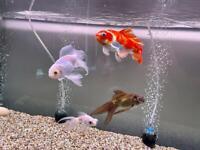 Goldfish x4
