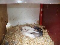 ferrets polecats