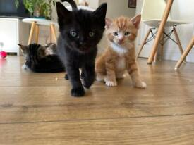 Gorgeous Long haired tabby and Calico mixed kittens