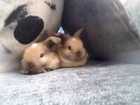 2 mini lop babies for sale