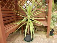 Indoor Yucca Plant