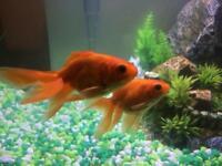 Fancy Goldfish (Fantail)