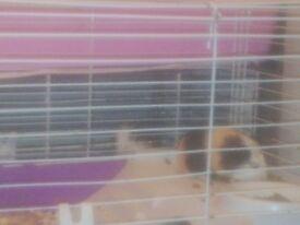 6 baby Guinea pigs £10 each