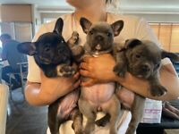 Fabulous French bulldog puppies for sale