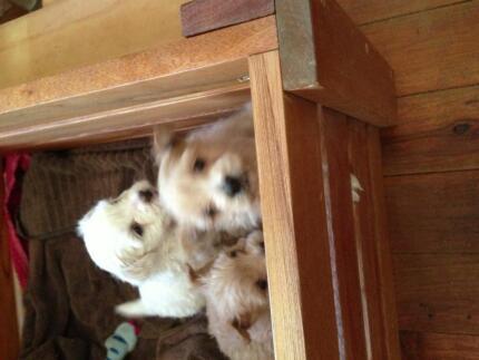 Maltese/shitzhu female pup located esk qld Esk Richmond Valley Preview
