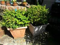 Mature 20 year old Box plants (£30 or 4 for £100)