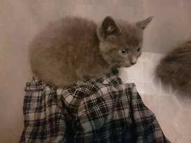 Blue kittens for sale!!