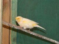 male canarys x 2