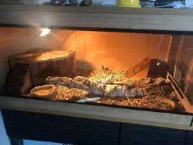 2 baby bearded dragons and vivarium