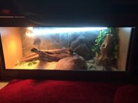 Bearded Dragon with full enclosure