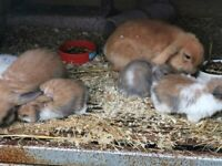 Dwarf lop eared female 7 weeks old ready to rehome