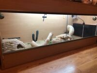 Bearded dragon and tank need gone