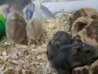 Winter white Dwarf Hamsters