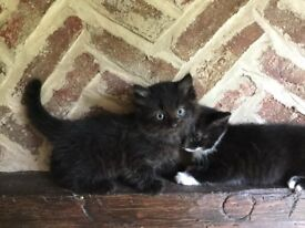 Four lovely British Shorthair X kittens for sale (reduced price)