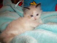 ragdoll kitten seal bicolour girl