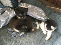 Kittens for sale ready to leave